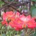 秋薔薇~芝公園