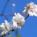 十月桜?~大崎