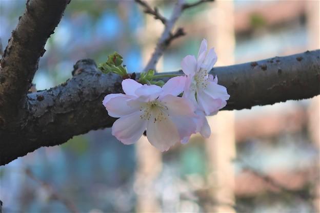 十月桜?~東京 大崎