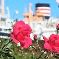 秋薔薇~山下公園