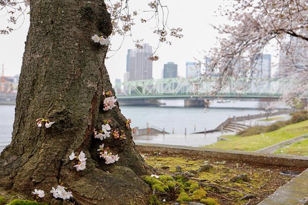 リバーシティの春