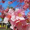 Photos: 咲き誇る花弁たち・・