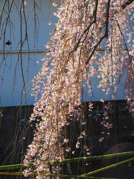 見事な枝垂桜