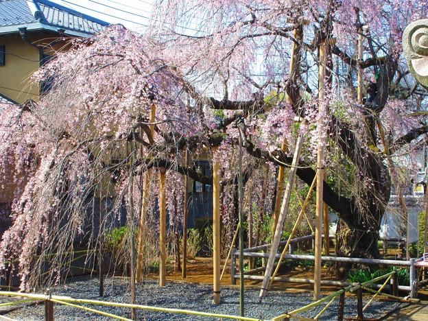 本堂から見た枝垂桜