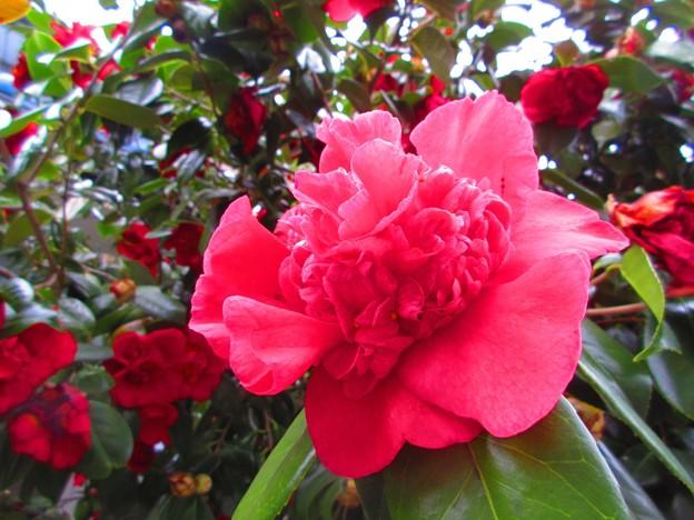この花椿・バラ?