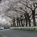 桜のトンネル・・・