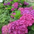 咲き誇る紫陽花