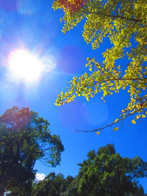 太陽とイチョウ