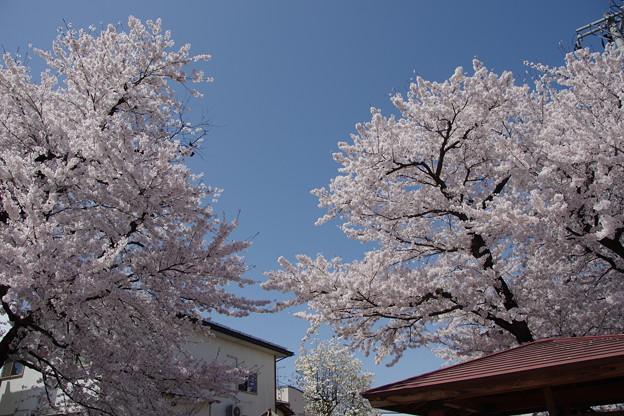 城南公園の桜