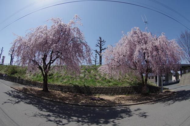 桜田の夫婦桜