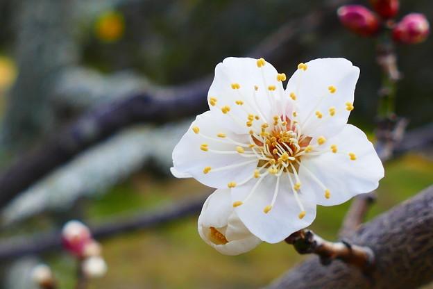 Photos: 大きく開く梅