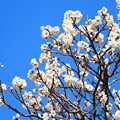 Photos: 青空と梅