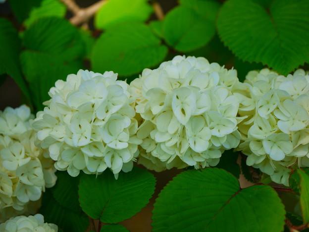 ビストロに咲くオオデマリ