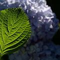 Photos: 紫陽花の葉!