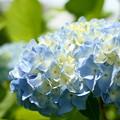 Photos: パステル・ブルーの紫陽花