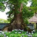 Photos: 大木と紫陽花
