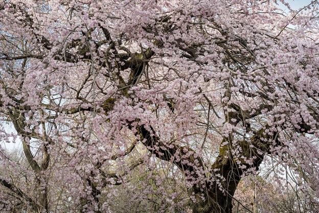 爛漫(枝垂桜) (2)