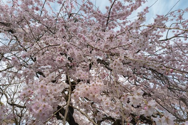 爛漫(枝垂桜) (1)
