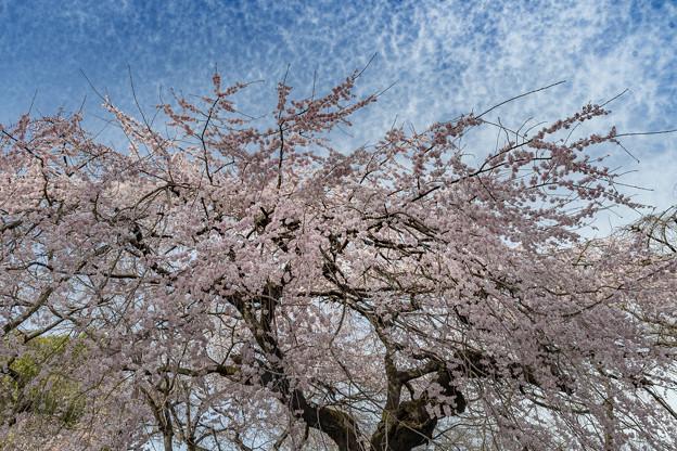爛漫(枝垂桜) (3)