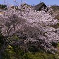 桜咲く三渓園 (3)