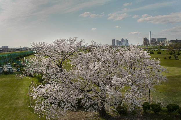 河川敷の一本桜