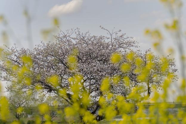 河川敷の一本桜2