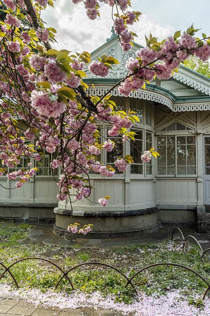 Photos: 洋館と八重桜1