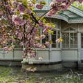 洋館と八重桜1
