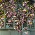 Photos: 洋館と八重桜