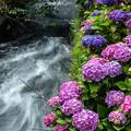 Photos: 渓流に咲く