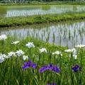Photos: 花菖蒲と田んぼ