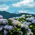 アジサイと富士山