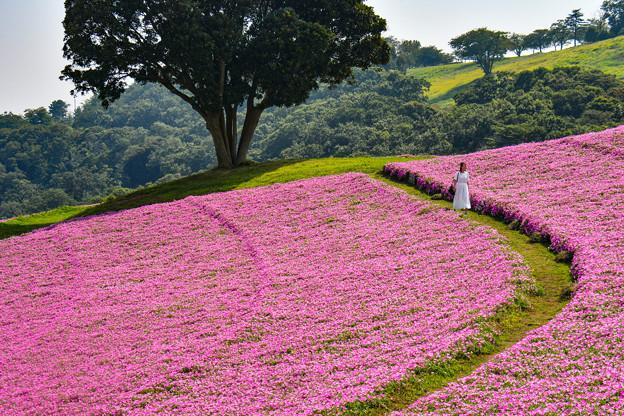 ペチュニア咲くマザー牧場