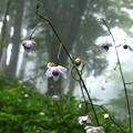 再現像「霧中に咲く」