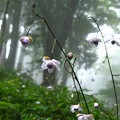 Photos: 再現像「霧中に咲く」