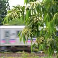 Photos: 栗の花