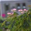 Photos: 合歓の花