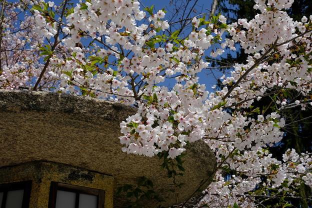 小樽の桜 住吉神社その1