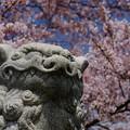 小樽の桜 水天宮その1