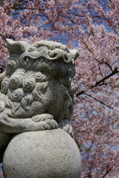 小樽の桜 水天宮その2