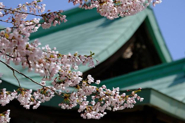 小樽の桜 水天宮その3