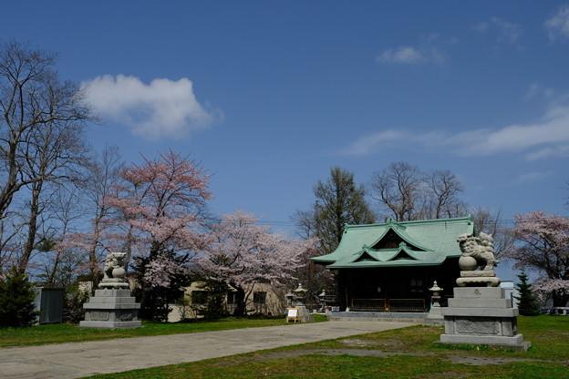 小樽の桜 水天宮その4