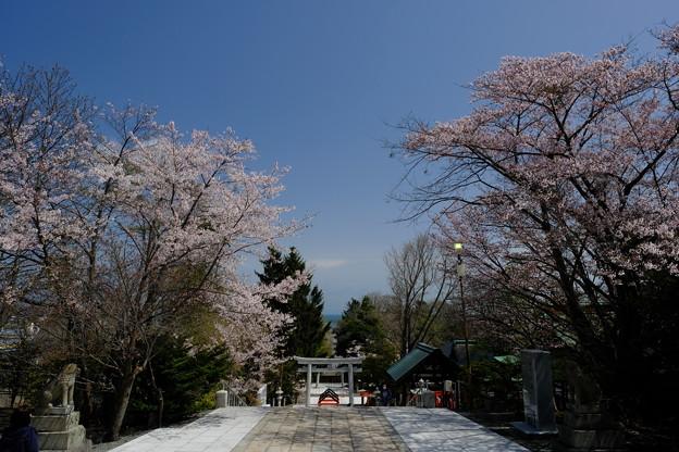 小樽の桜 住吉神社その2