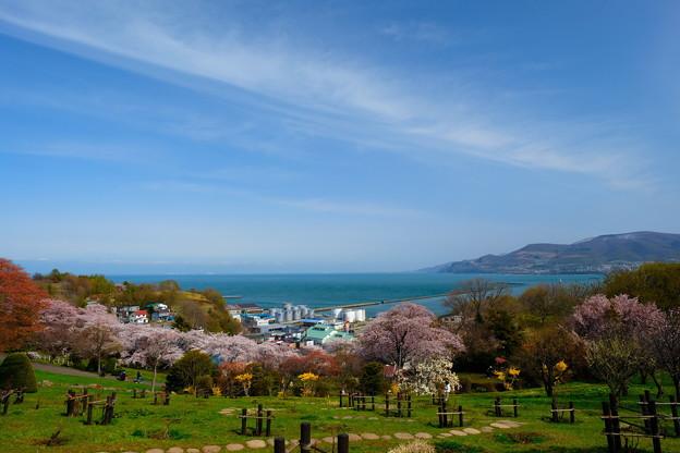 小樽の桜 手宮公園その4
