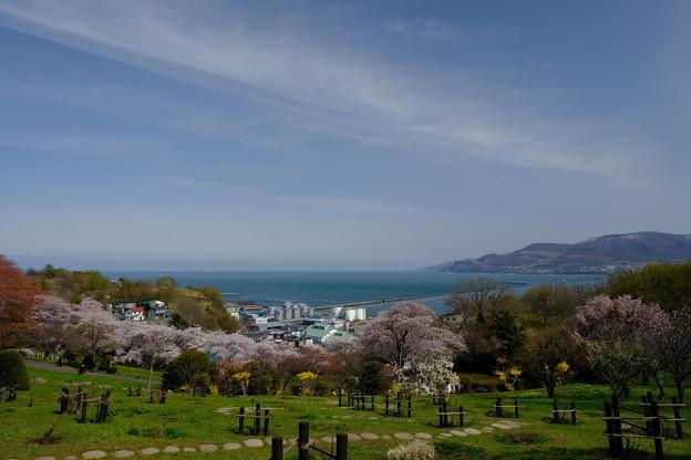 小樽の桜 手宮公園その5