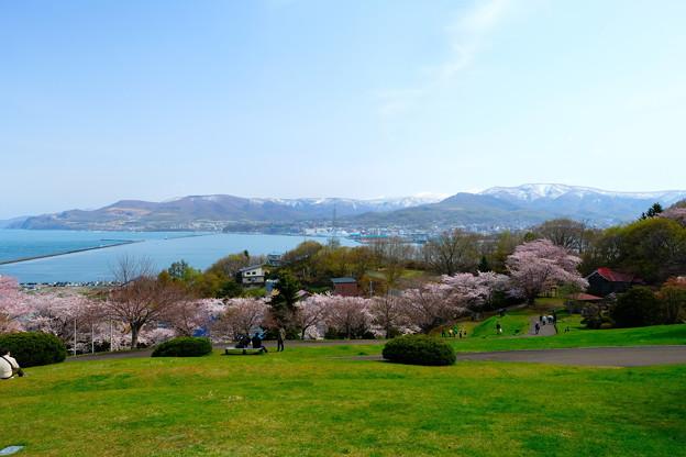 小樽の桜 手宮公園その1
