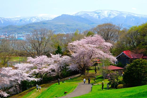 小樽の桜 手宮公園その2