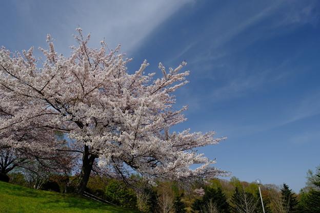 小樽の桜 手宮公園その3