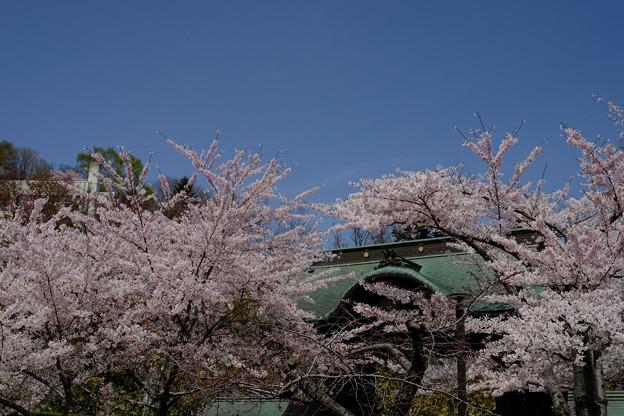 小樽の桜 天上寺その2