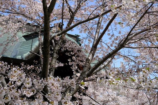 小樽の桜 天上寺その4